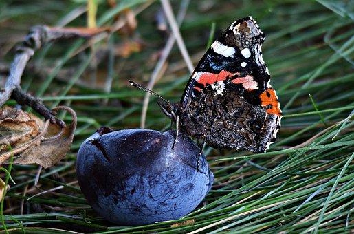Butterfly, Plum, Grass, Nature, Summer, Meadow Grass