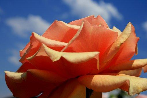 Rose, Bloom, Flower, Open, Orange, Subdued Hue, Serene