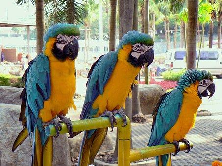Bangkok, Parrots, Macaws, Yellow, Blue, Trio