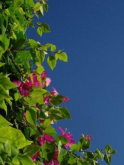 Bougainvillea, Triple Flower, Flower, Pink