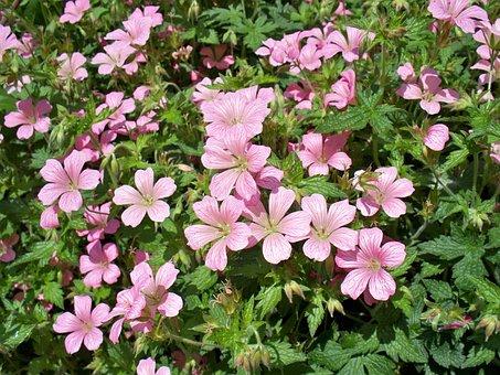 Geranium, Perennial, Pink, Geranium Mavis Simpson