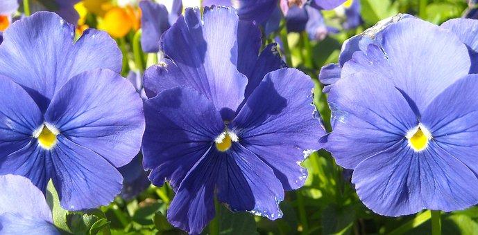 Pansy, Blue, Floral, Plant, Bloom, Spring, Petal
