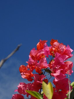 Bougainvillea, Plant, Flower, Summer