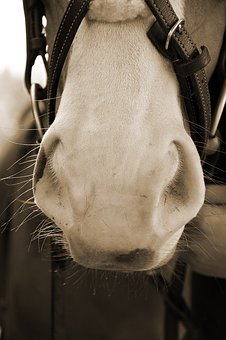 Horse, Nostrils, Soft, Nose, Horse Head, White