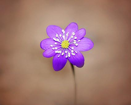 Hepatica, Flower, Blossom, Bloom, Purple, Spring Flower