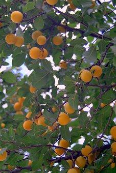 Mirabelka, Damson, Plum, Yellow, Tree, Fruit, Juicy