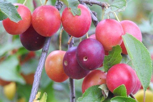 Cherry Plum, Yellow Plums, Fruit, Branch, Summer