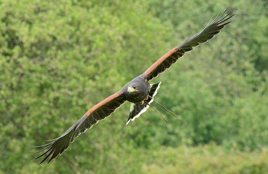 Harris, Hawk, Flying, Bird, Beak, Hunt, Predator