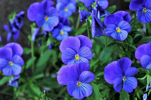 Pansies, Violet, Bloom, Pansy, Spring, Garden Pansy