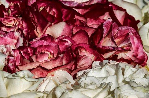 Roses, Noble Roses, Blossom, Bloom, Wine Red, White