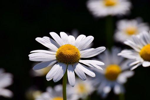 Marguerite, Daisy Field, Summer, Blossom, Bloom, Flower