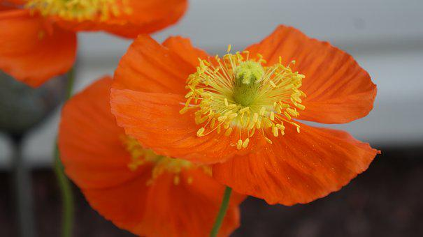Flower, Poppy, Petal, Nature, Summer, Blossom, Garden