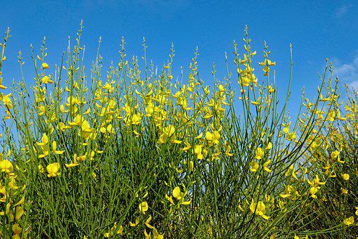Yellow Broom, Broom, Nature, Broom Shrub, Gorse Blossom