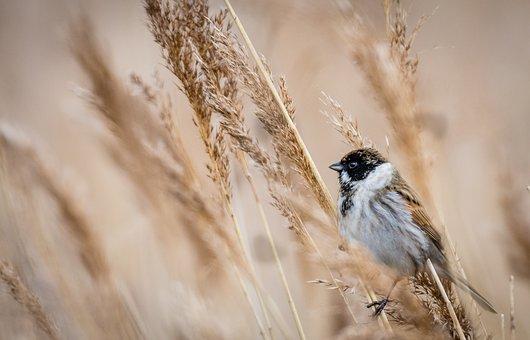 Bird, Bunting, Fauna, Wildlife, Nature, Ornithology