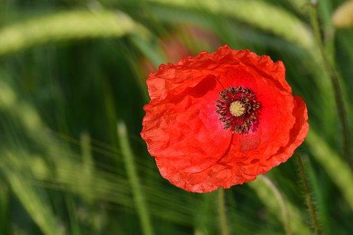 Poppy, Cereals, Red, Klatschmohn, Nature, Field, Spring