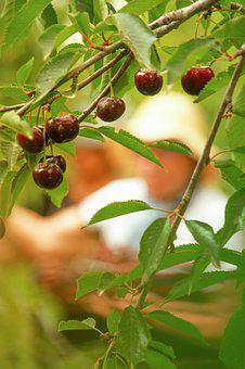 Cherry, Picking, Nature, Farm, Tree, Sweet, Season