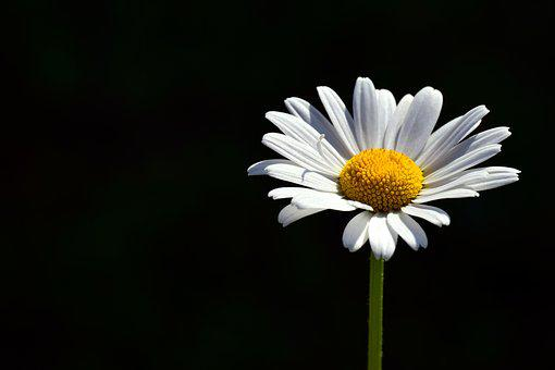 Marguerite, White, Meadow Margerite, Flower, Close