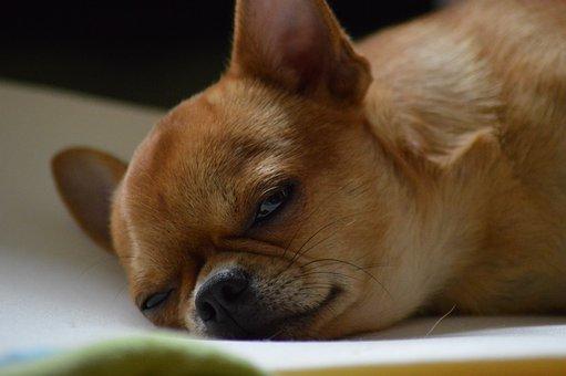 Dog, Chihuahua, Chiwawa, Small Dog, Small