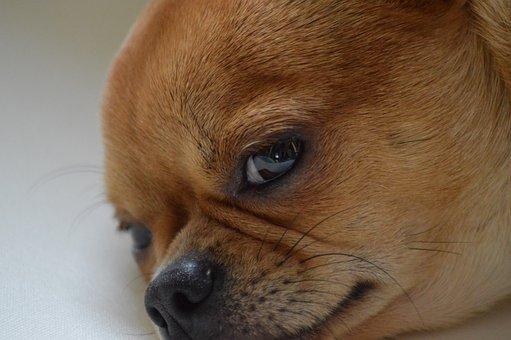 Dog, Concerns, Pet, Hundeportrait, Small Dog, Rest, Fur