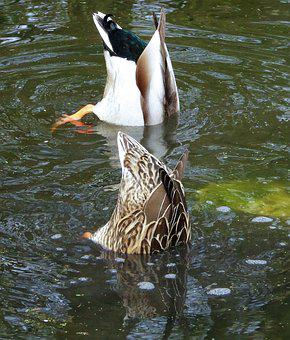 Ducks, Pair Of Ducks, Diving, Waterfowl, Two, Spring