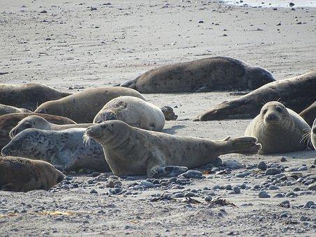 Seal, Robbe, Helgoland, Dune, Island, Beach