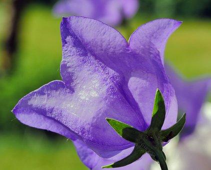 Bellflower, Cup, Petals, Five-leaved, Early Summer