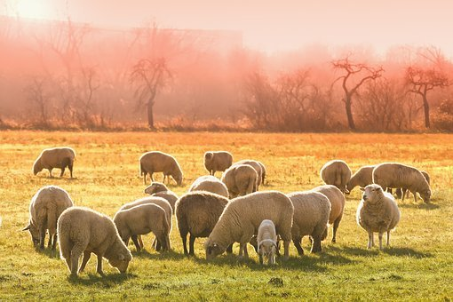 Animal, Sheep, Flock Of Sheep, Meadow, Graze, Nature