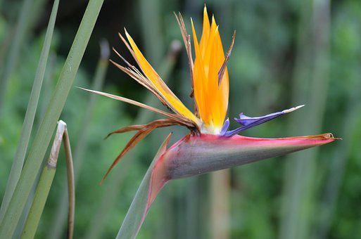 Caudata, Flower, Bird Of Paradise Flower
