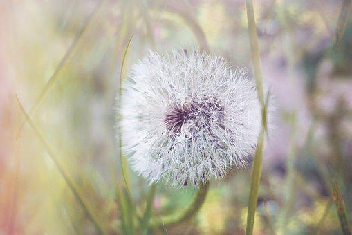 Nature, Dandelion, Pointed Flower, Close, Flower, Seeds