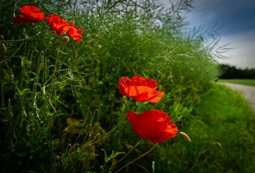 Nature, Plant, Poppy, Flower, Field, Landscape
