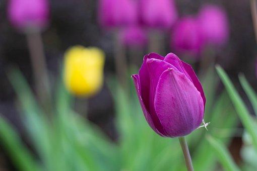 Flowers, Tulips, Plants, Nature, Yellow, Purple
