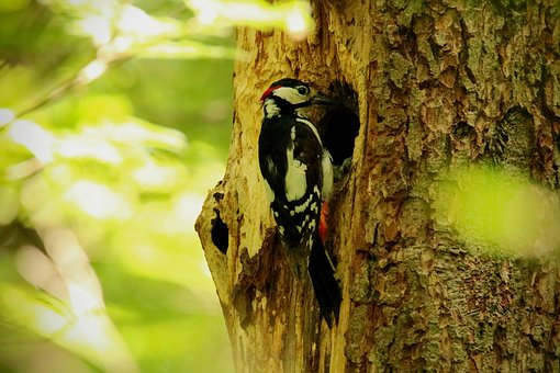 Great Spotted Woodpecker, Bird, Foraging, Log