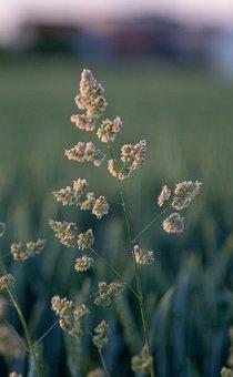 Grass, Blade Of Grass, Meadow, Green, Spring, Bud