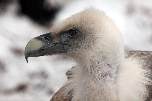 Griffon Vulture, Birds, Gyps Fulvus, Bird Of Prey