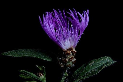 Had Knapweed, Blossom, Bloom, Close, Macro