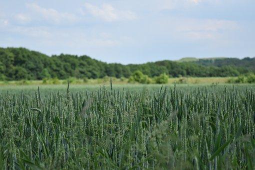 Sky, Cornfield, Cereals, Grain, Harvest, Farm
