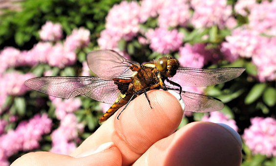 Dragonfly, Index Finger, Insect