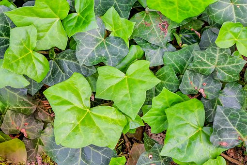 Ivy, Plant, Nature, Climber, Leaves, Green, Ivy Leaf