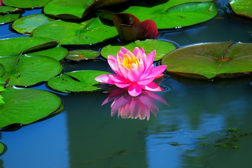 Pond, Lotus, Aquatic Plants, Lily, Flower, Water Lilies