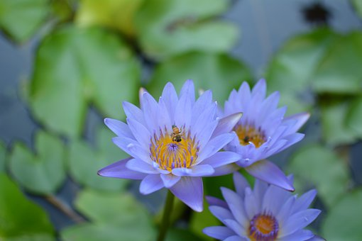 Nymphaea Alba, Lotus Pond, Purple Lotus, 潔 Net