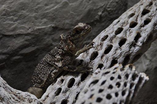 Animal, Iguana, Madagascar Iguana, Scaly