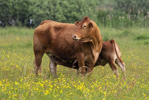 Cow, Cows, Cattle, Grass, Mark, Expensive, Calf, Eng