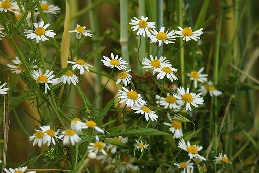 Chamomile, Chamomile Blossoms, Medicinal Herb