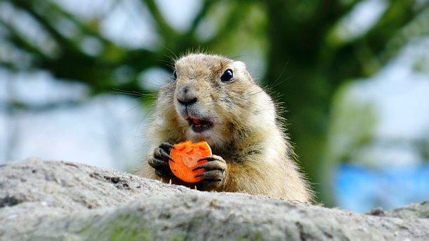 Prairie Dog, Animal, Carrot, Food, Mine, Zoo, Furry