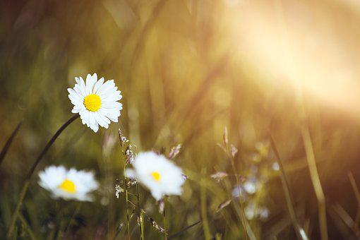Daisy, Meadow, Nature, Pointed Flower, Blossom, Bloom