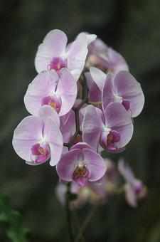 Orchid, Flower, Plant, Pink, Pink Flower, Pale Lilac