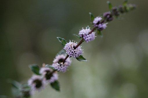 Peppermint, Blossom, Bloom, Mint, Tee, Peppermint Tea