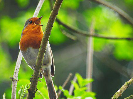 Robin, Nature, Wildlife, Bird, Perched, Branch, Spring