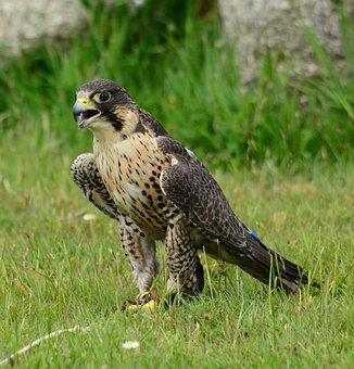 Peregrine, Falcon, Stand, Floor, Bird, Nature, Predator