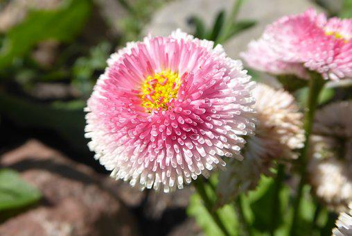 Daisy, Pink, Flower, The Petals, Nature, Summer, Plant